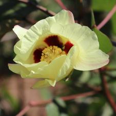 Flor do pé de algodão