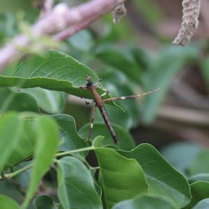 Bicho-pau