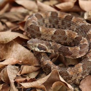 Cobra Jararaca-da-seca (Bothrops erythromelas)