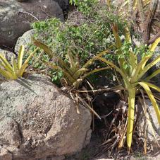 Bromélias da Caatinga
