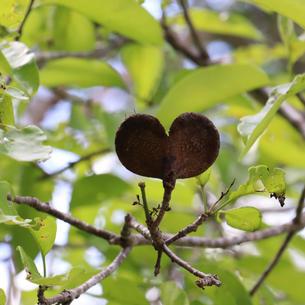Pereiro (Aspidosperma pyrifolium