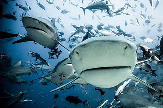 SharksinYourFace.jpg
