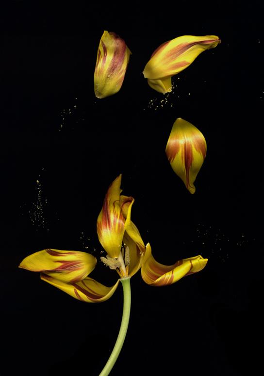 Tulip Fling