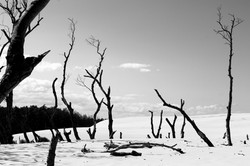 Trees Beaten by Sand