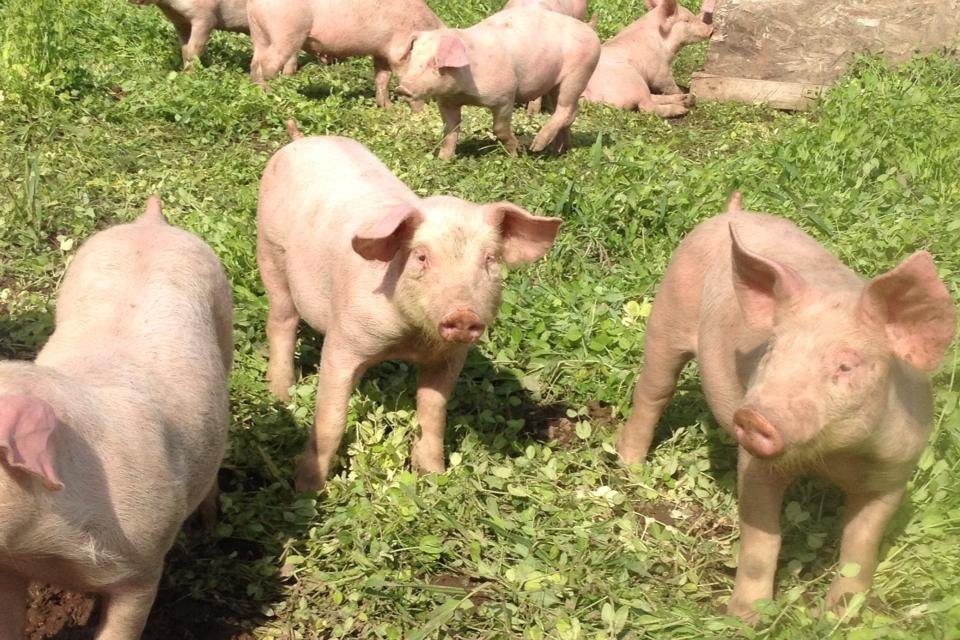 Fresh pasture for pigs