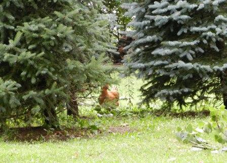 Escaped Chicken