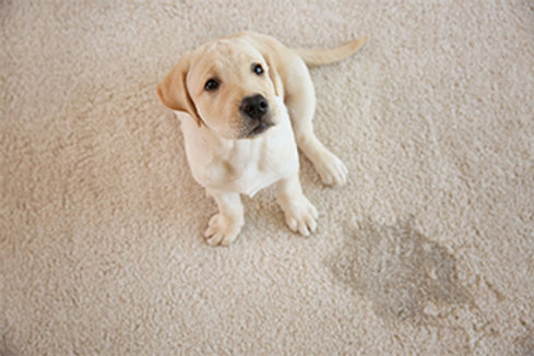 Carpet Cleaning - Pet Odor/Stain Treatment