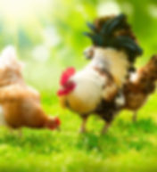 poultry-day1 (1).jpg