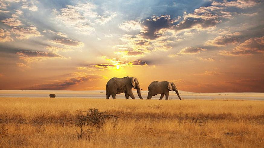 patrolling-the-savannah-two-gray-elephan