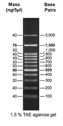 100 bp Plus DNA Ladder