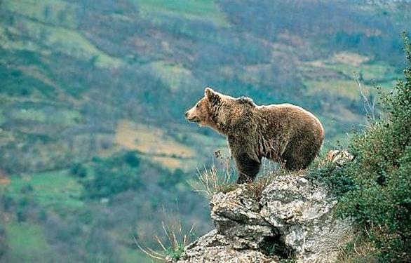 oso pardo Latitud Nomada.jpg