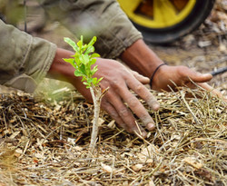 Freshsly planted seedling being mulched