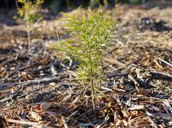 Yellow-wood freshly planted