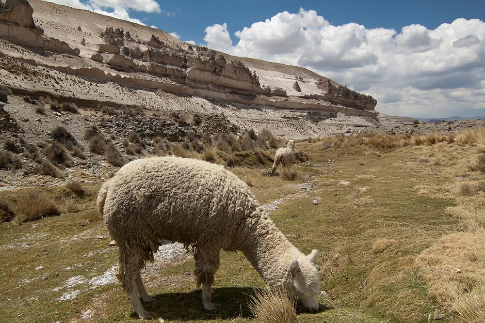 Alpacas in Salinas and Aguada Blanca National Reserve