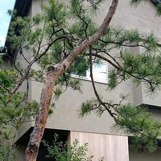 赤松の庭K邸