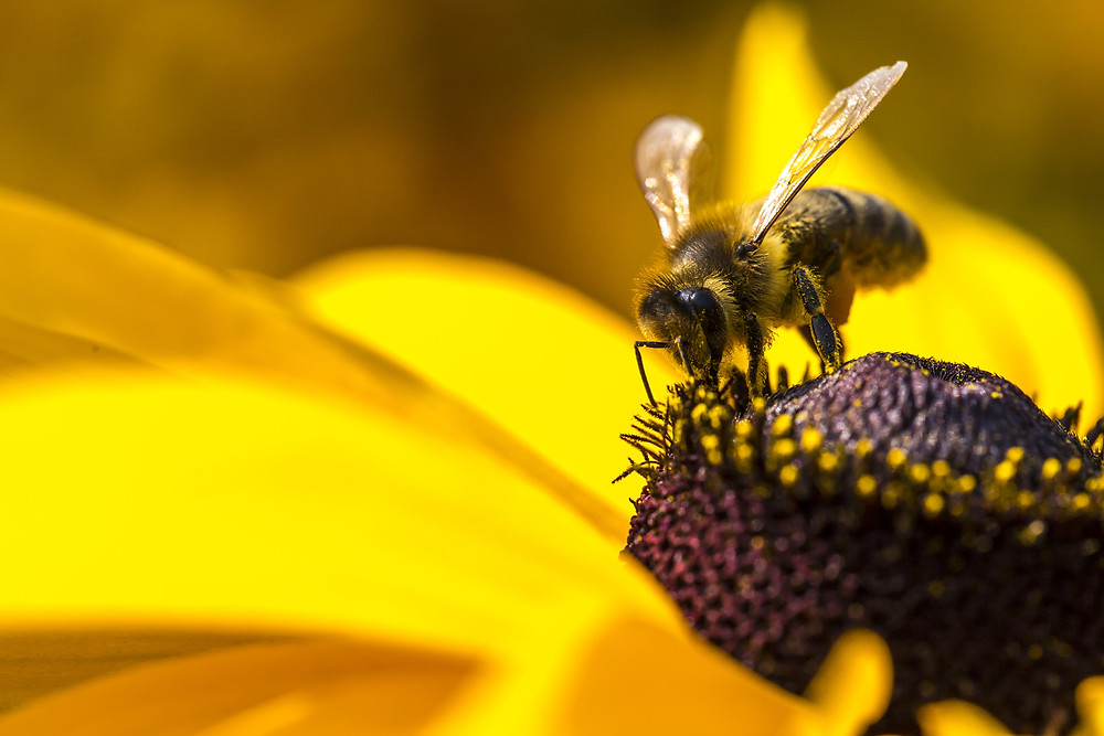 Close-up Photo Of A Western HoneyBee Gathering Nectar And Spreading Pollen On A Young Autumn Sun Co.jpg