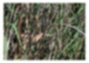 blongios nain 3.jpg