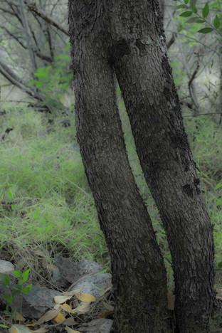 Un madroño es un arbusto, casi un árbol, que ha sobrevivido a nuestro clima más cálido y seco proveniente de otras épocas más lluviosas. Buscan refugio en los lugares más húmedos de nuestros bosques.