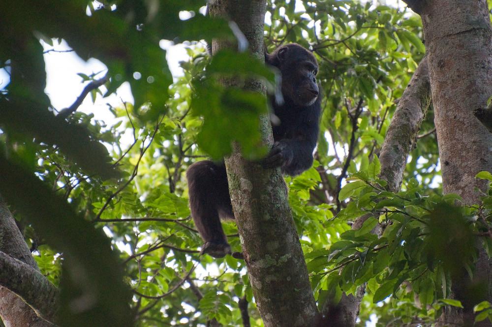 Chimpanzee - Nyungwe Forest National Park