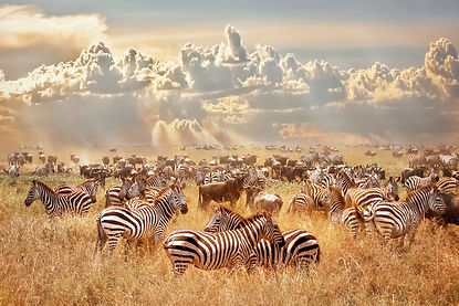 African wild zebras and wildebeest in th