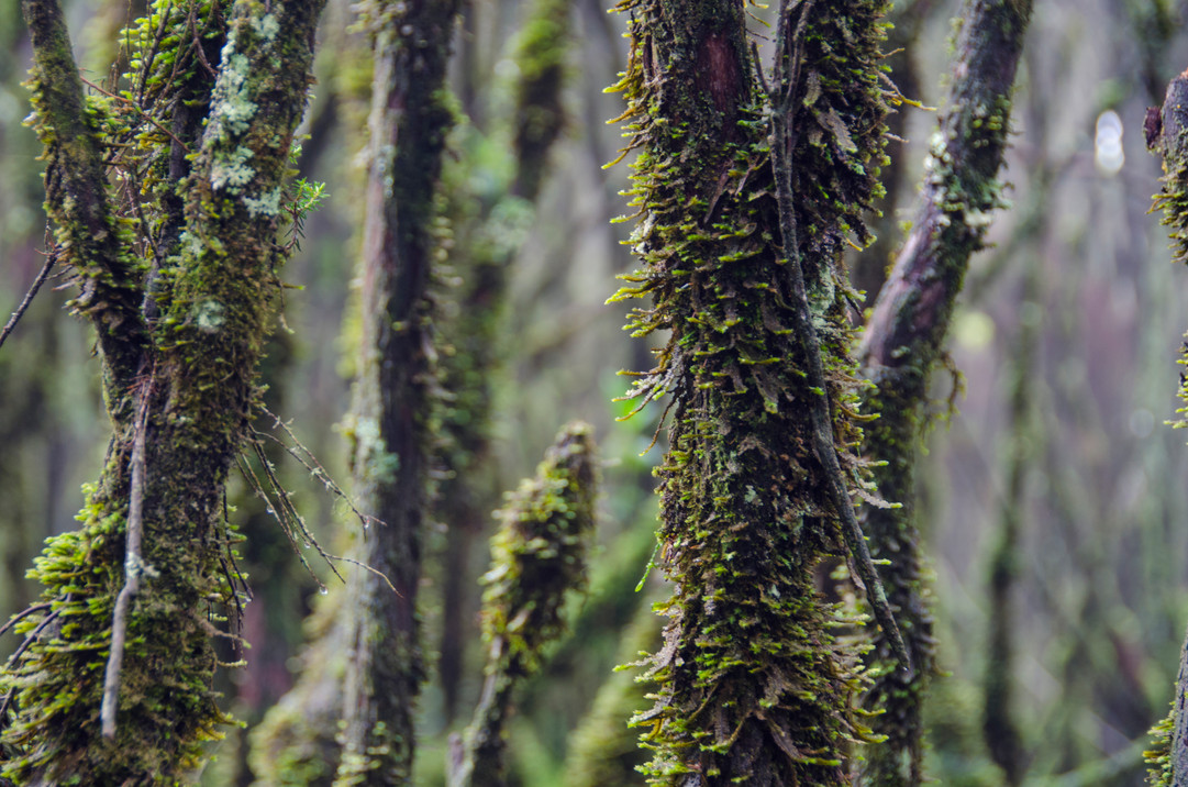Moss on the trees in Rwenzoris
