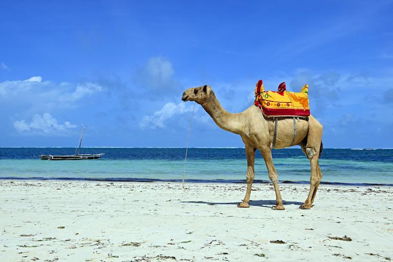 Camel - Beach rides