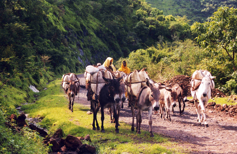 A caravan of donkeys in the Tigray area