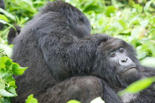 Female mountain Gorillas, Volcanoes NP,