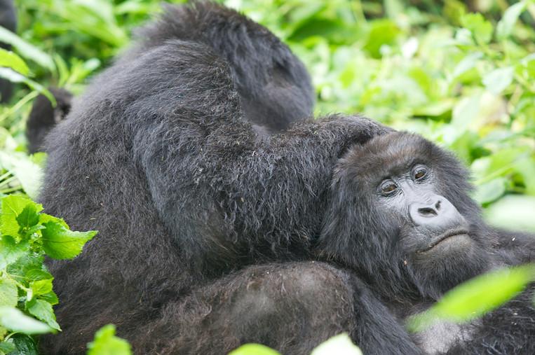 Female mountain Gorillas - Volcanoes NP