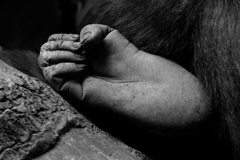 Gorilla foot, Rwanda B&W.jpg