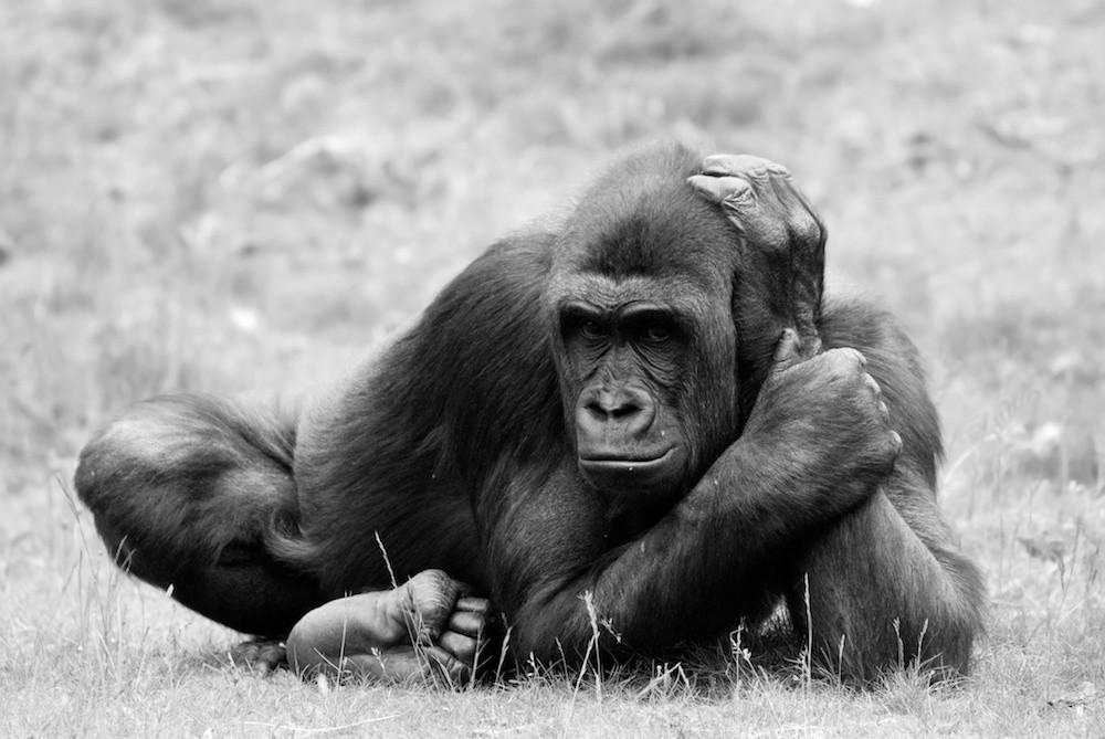 Female Gorilla, Uganda B&W.jpg