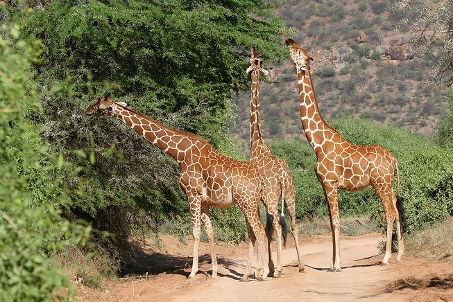 Reticulated Giraffes, Samburu, Kenya.jpg
