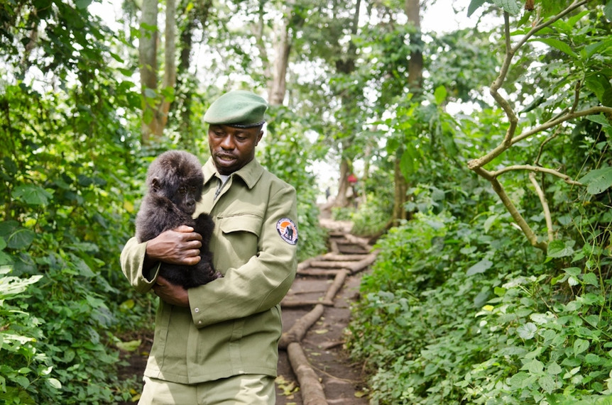 Virunga Ranger with Baby Mountain Gorills