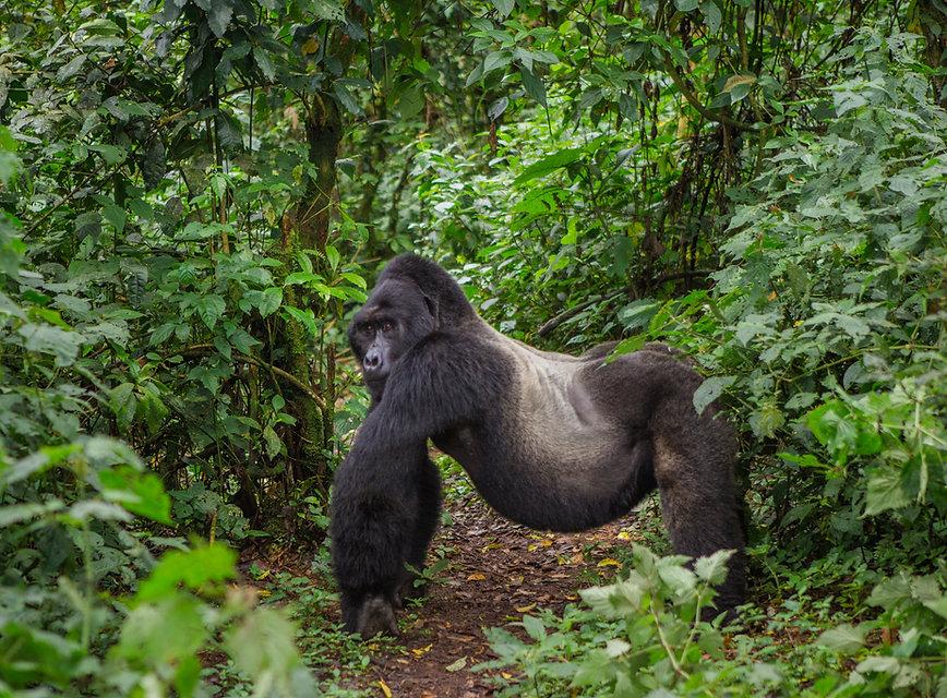Dominant male mountain gorilla in rainfo