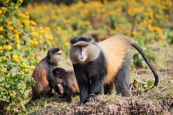 Golden Monkeys.jpg