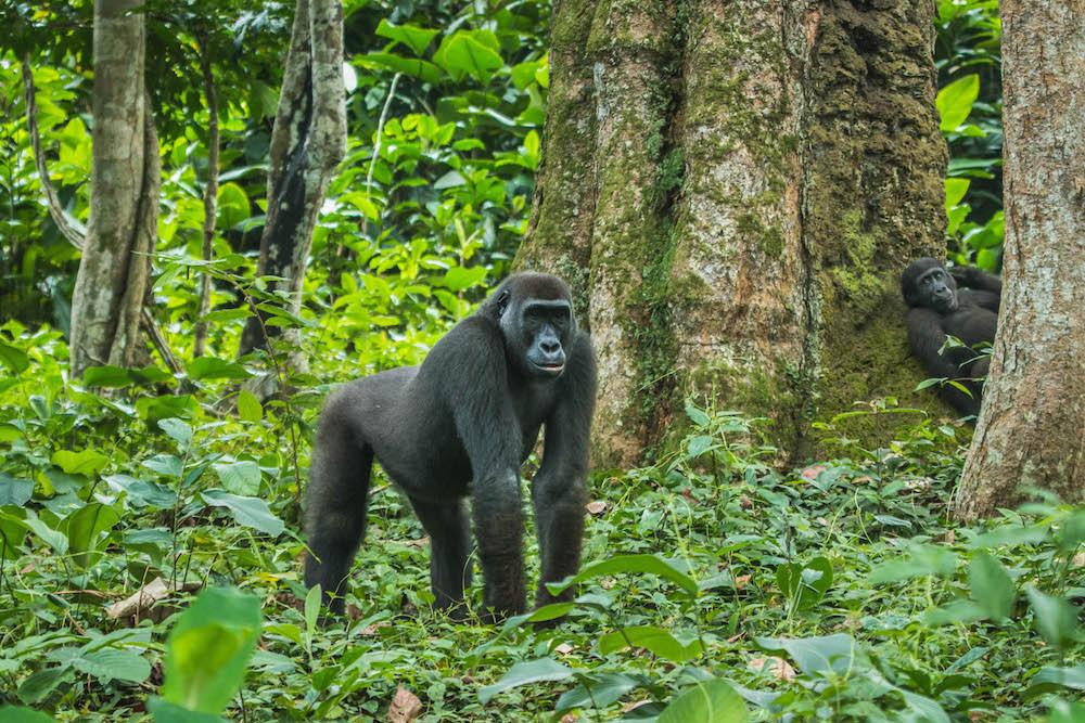 Western Lowland Gorilla Trekking