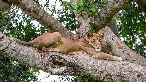 Lioness lying on a big tree. Close-up. U