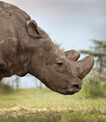OPBC-rhino-portrait.jpg