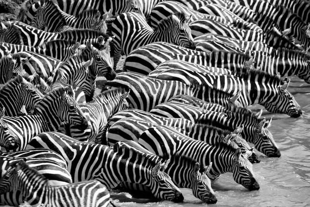 Zebra drinking at Mara river