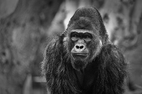 Gorilla portrait with blurred background