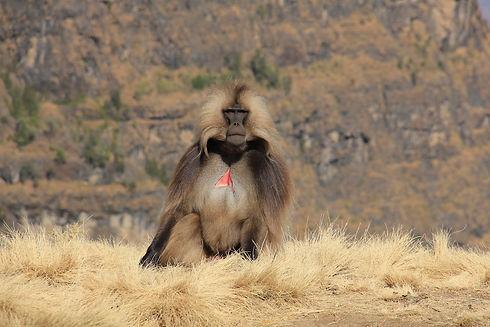 Gelada Baboon.jpg