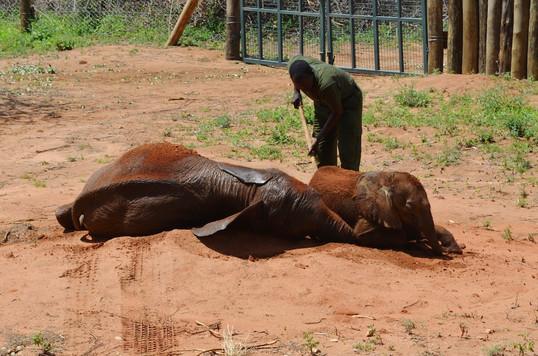 Mud bath for happy ele orphans