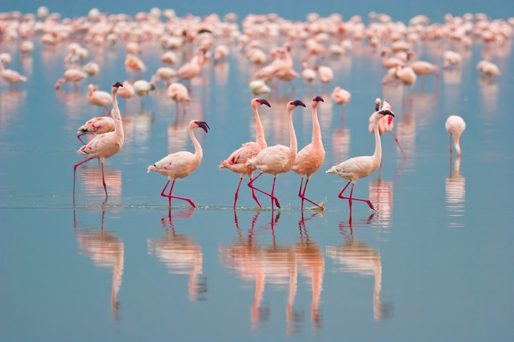 Flamingos at Nakuru Lake