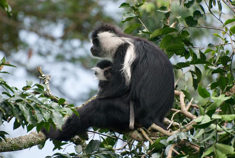 Colobus Monkeys - Nyungwe Forest National Park