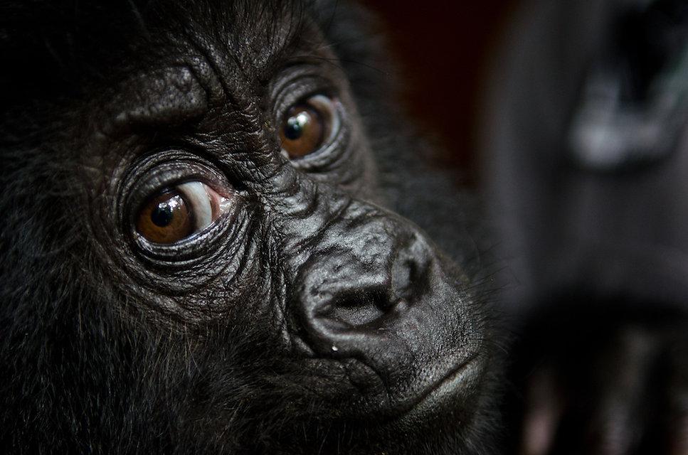Orphan Gorilla.jpg