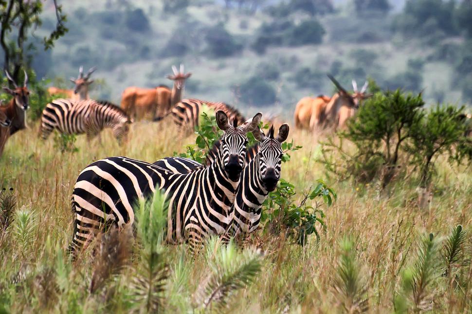 Zebras of Agakera