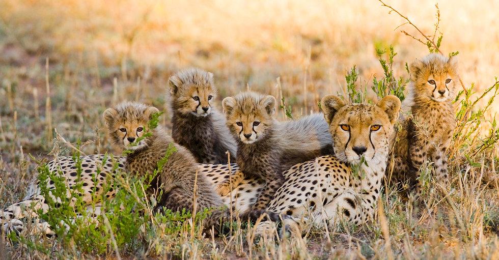 Cheetah Mother and Cubs, Serengeti NP, T