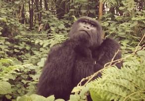 Mountain Gorilla - Virunga