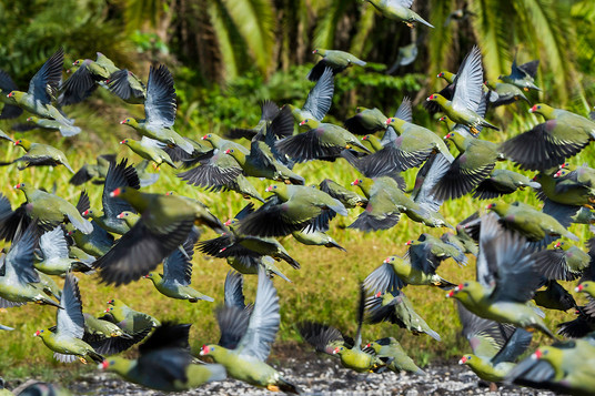 Green Pigeon Colony