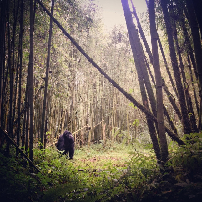 Mountain Gorilla in Bamboo Forest